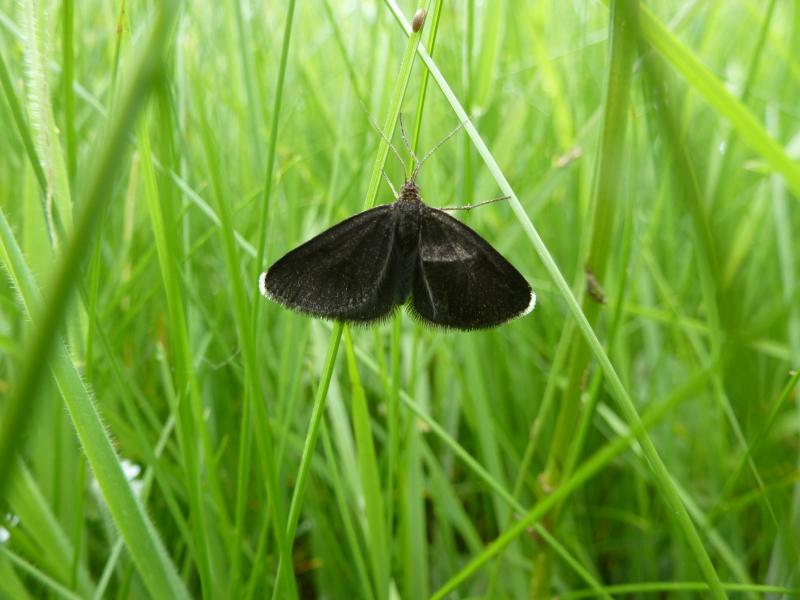 Chimneysweeper Moth