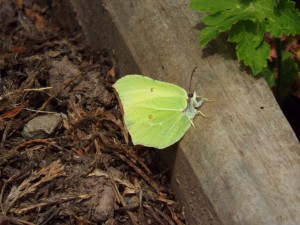 Brimstone butterfly (Garden or around Abdon) Photo by Penny Unitt