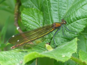 Female Banded Demoiselle damselfly (Calopteryx splendens). Photo by Miles Leach