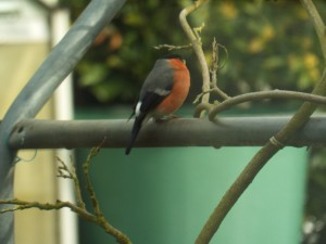 Male Bullfinch (Garden or around Abdon) Photo by Penny Unitt