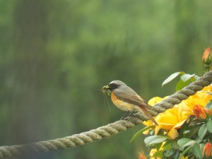 Male redstart (Garden or around Abdon) Photo by Penny Unitt