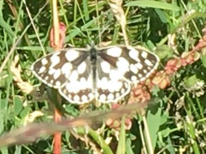 Marbled White on Brown Clee 2018 Photo by Trish Shotton