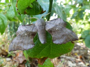 Male Poplar Hawkmoth (Laothoe populi) Photo by Miles Leach