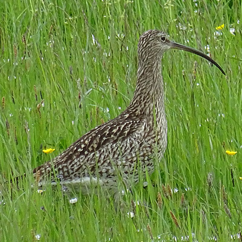 Curlew in grass