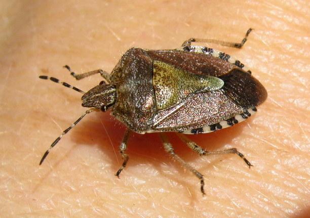 Hairy-shieldbug