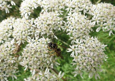 Tree Wasp (Dolichovespula sylvestris)