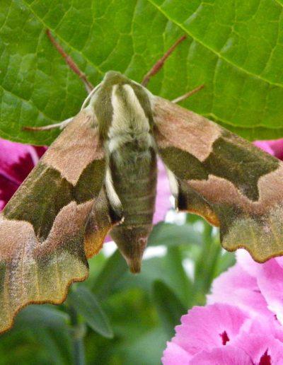 Lime-Hawk-moth