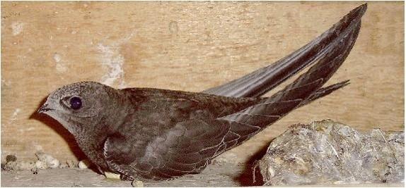 Swift on nest