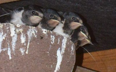 Swallows Using Nest Cup