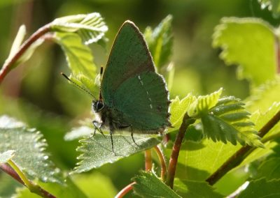 Green Hairstreak - This species appeared to enjoy a good spring with many sightings on the margins of Catherton Marshes