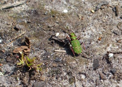 Green Tiger Beetle - The sandy path leading from the marshes to Cramer Gutter