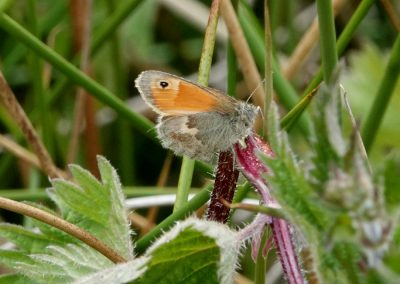 Small Heath - Numbers of this butterfly appear to have increased this spring, following recent poor years. Widespread throughout the Clee Hill area, this one was at Titterstone.