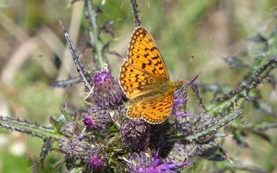 CLEE HILL BIG BUTTERFLY AND MOTH SURVEY – YEAR 2 2013