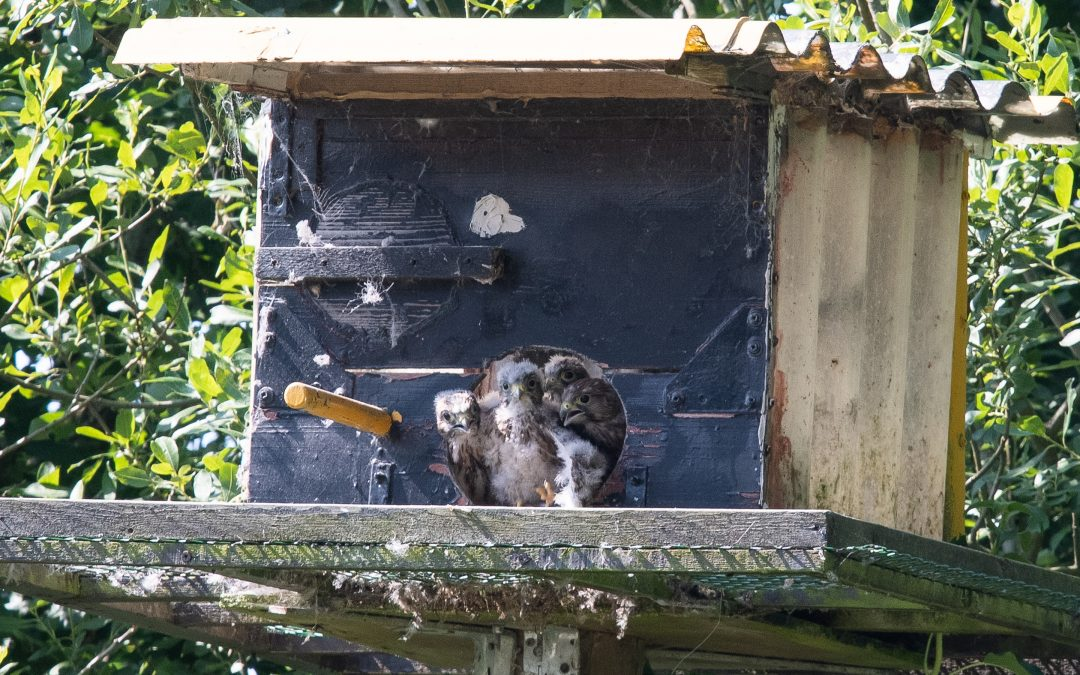 Peregrine Chicks in Nestbox
