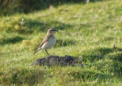 Female Wheatear - Clee Hill March 21