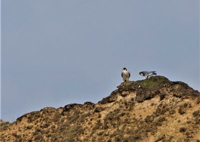 Peregrine - Clee Hill April 21