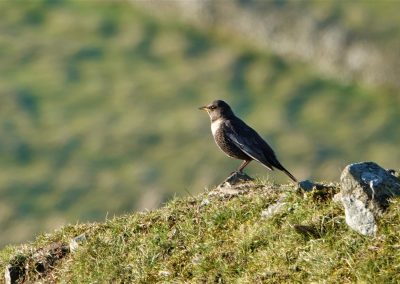 Ring Ouzel - Clee Hill April 21