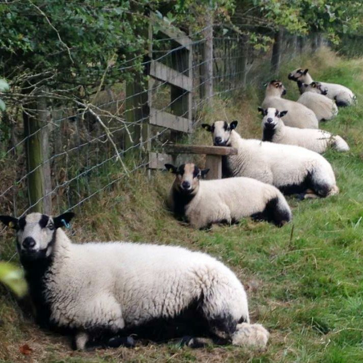 Badger Face Sheep ready for action!